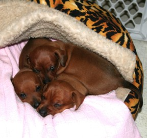 Three Snuggle Dachsies